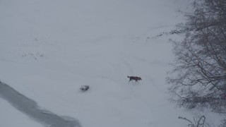 AK0001_1583 - 4K stock footage aerial video a wolf running in snow around edge of forest, Knik River Valley, Alaska