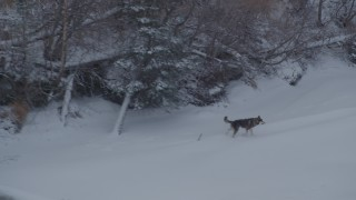 AK0001_1584 - 4K stock footage aerial video a wolf trotting in snow along edge of a forest, Knik River Valley, Alaska