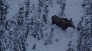 AK0001_1665 - 4K stock footage aerial video moose standing in snow, trotting in the woods at twilight, Point MacKenzie, Alaska