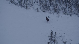 AK0001_1666 - 4K stock footage aerial video a moose trotting out of the snow covered woods at twilight, Point MacKenzie, Alaska