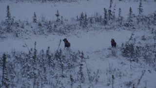 AK0001_1669 - 4K stock footage aerial video two moose charging through snow at sunset, Point MacKenzie, Alaska