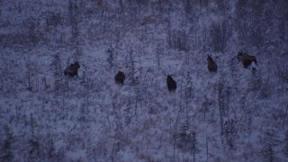 AK0001_1703 - 4K stock footage aerial video seven moose charging through snowy grass, Point MacKenzie, Alaska, twilight
