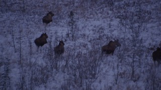 AK0001_1704 - 4K stock footage aerial video five moose trotting through frozen grass, Point MacKenzie, Alaska, twilight