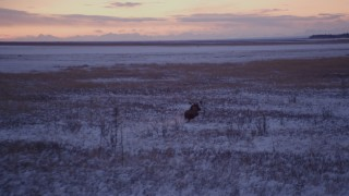 AK0001_1705 - 4K stock footage aerial video moose charging through snow covered grass at twilight, Point MacKenzie, Alaska