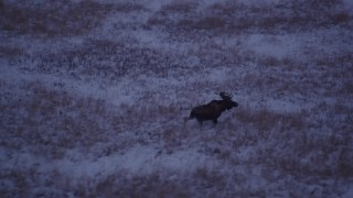 AK0001_1706 - 4K stock footage aerial video moose charging through snow covered grass at twilight, Point MacKenzie, Alaska