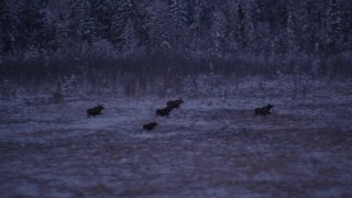 AK0001_1707 - 4K stock footage aerial video five moose trotting through snow covered grass, Point MacKenzie, Alaska, twilight