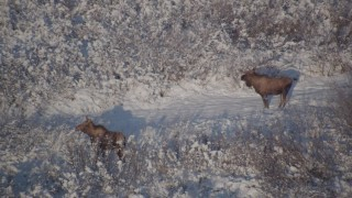 AK0001_1769 - 4K stock footage aerial video two moose in the snowy brush, Chugach Mountains, Alaska