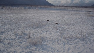AK0001_1772 - 4K stock footage aerial video fly low over snowy ground, revealing two moose, Chugach Mountains, Alaska