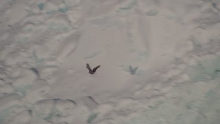AK0001_1819 - 4K stock footage aerial video tracking an eagle flying past a snow covered glacier, Harriman Fjord, Alaska