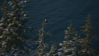 AK0001_1863 - 4K stock footage aerial video an eagle perched on a snowy tree in Port Wells, Alaska