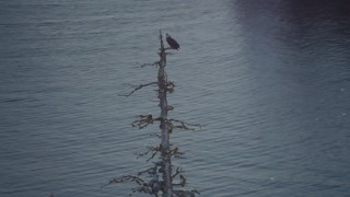 AK0001_1864 - 4K stock footage aerial video orbiting an eagle perched on a tree with snow on the ground in Port Wells, Alaska