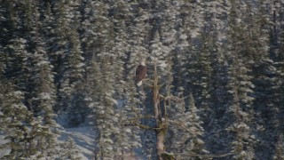 AK0001_1865 - 4K stock footage aerial video an eagle perched on a snowy tree, then flies away, Port Wells, Alaska