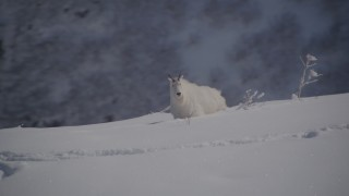 AK0001_1949 - 4K stock footage aerial video a mountain goat stepping in the snow, Chugach Mountains, Alaska