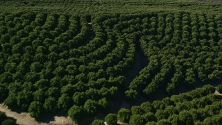 AX0014_035 - 5K stock footage aerial video of flying low over an orchard, Temecula, California