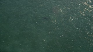 AX0028_007 - 5K stock footage aerial video of tracking a shark swimming, Marathon, Florida
