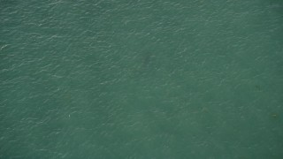 AX0028_009 - 5K stock footage aerial video of a bird's eye view of a shark swimming, Marathon, Florida