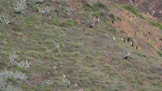 AX102_181 - 5k stock footage aerial video of goats on a hillside along the coast, Culebrita, Puerto Rico