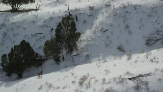 AX125_044 - 6K stock footage aerial video of tracking several mule deer on Antelope Island in winter, Utah