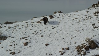 AX125_053 - 6K stock footage aerial video approach lone bison on a snowy slope in winter on Antelope Island, Utah