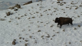 AX125_055 - 6K stock footage aerial video track a bison running across a snowy mountain and stopping in winter, Antelope Island, Utah