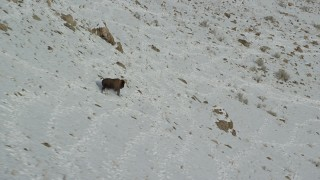 AX125_056 - 6K stock footage aerial video track a bison running down a snowy slope in winter in Antelope Island, Utah