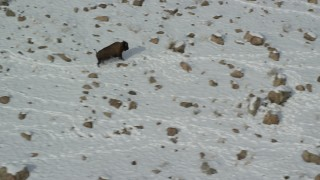 AX125_057 - 6K stock footage aerial video of bison following tracks in the winter snow in Antelope Island, Utah