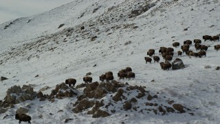 AX125_059 - 6K stock footage aerial video of a herd of bison running across snow on Antelope Island, Utah