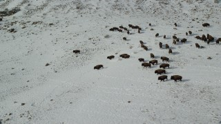 AX125_060 - 6K stock footage aerial video orbit bison racing across snow on Antelope Island, Utah