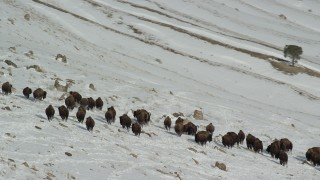 AX125_062 - 6K stock footage aerial video of circling bison in the snow on Antelope Island, Utah