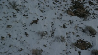 AX125_067 - 6K stock footage aerial video track a bighorn sheep racing across snow-covered mountain, Antelope Island, Utah