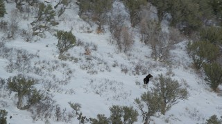 AX126_190 - 6K stock footage aerial video orbit a lone moose walking through the winter snow, Wasatch Range, Utah