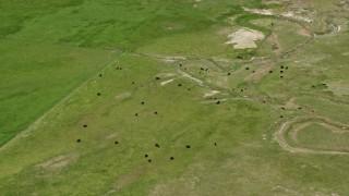 AX130_149 - 6K stock footage aerial video of flying by cows in a field, Manti, Utah