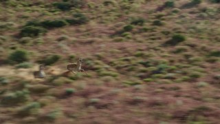 AX138_219 - 6K stock footage aerial video of tracking a pair of pronghorn running through the desert, Moab, Utah