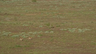 AX138_220 - 6K stock footage aerial video of tracking a couple of pronghorn in the desert near Moab, Utah