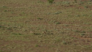 AX138_221 - 6K stock footage aerial video track pronghorn racing across desert, Moab, Utah
