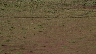 AX138_222 - 6K stock footage aerial video of two pronghorn racing across the desert near Moab, Utah