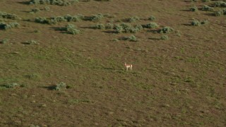 AX138_224 - 6K stock footage aerial video track a pronghorn racing away near Moab, Utah