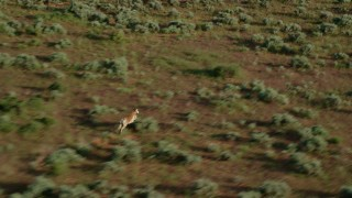 AX138_232 - 6K stock footage aerial video track lone pronghorn racing through desert near Moab, Utah