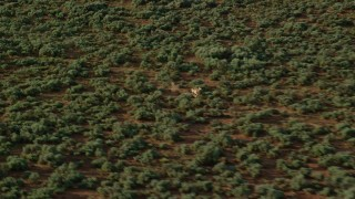 AX138_234 - 6K stock footage aerial video track a single pronghorn as it charges through the desert, Moab, Utah