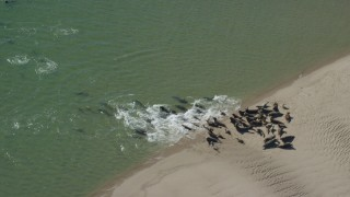 AX144_034 - 6K stock footage aerial video flying by seals on a beach, Cape Cod, Eastham, Massachusetts