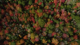 AX148_055 - 6k stock footage aerial video of a bird's eye view flying over colorful trees in autumn, Cushing, Maine