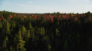 AX149_049 - 6K stock footage aerial video flying over young trees toward colorful forest, autumn, Blue Hill, Maine