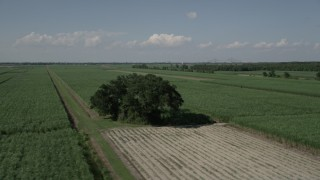 AX60_053 - 5K stock footage aerial video flyby a lone tree surrounded by sugar cane fields, Vacherie, Louisiana