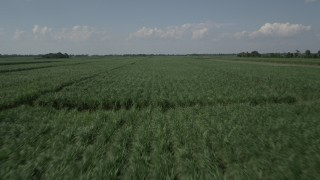 AX60_055 - 5K stock footage aerial video of low altitude flight over sugar cane fields, Vacherie, Louisiana