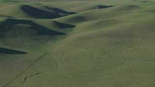 AX70_112 - 4K stock footage aerial video Cattle grazing by green hills in Hollister, California