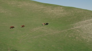 AX70_127 - 4K stock footage aerial video Longhorn cattle running in the hills in Hollister, California