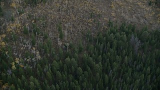 CAP_002_005 - HD stock footage aerial video of a bird's eye view of evergreens and autumn trees in Jackson Hole, Wyoming, twilight