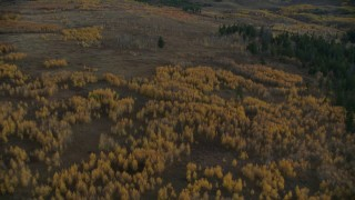 CAP_002_013 - HD stock footage aerial video fly over trees with autumn leaves in Jackson Hole, Wyoming, twilight