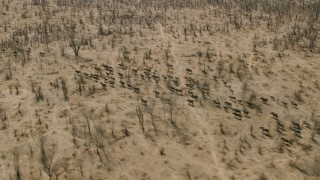CAP_026_033 - HD stock footage aerial video of flying by a herd of African buffalo in the savanna, Zimbabwe