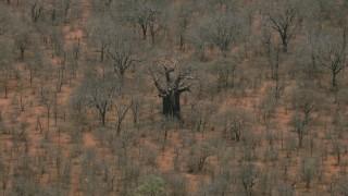 CAP_026_089 - HD stock footage aerial video of circling a large tree in the savanna, Botswana